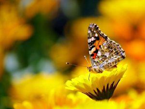 26451motyl_kwiat_fot._Vikramjit_Kakati_Pixabay