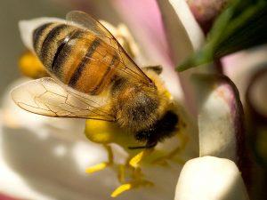 Pszczola_skrzydelka